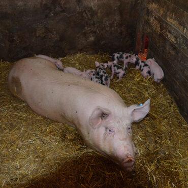 schweinchen-littermoos